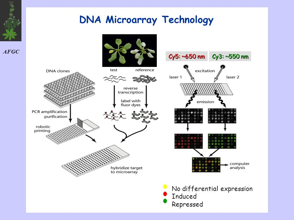 DNA Microarray Technology Cy3: ~550 nm Cy5: ~650 nm No differential expression Induced Repressed AFGC