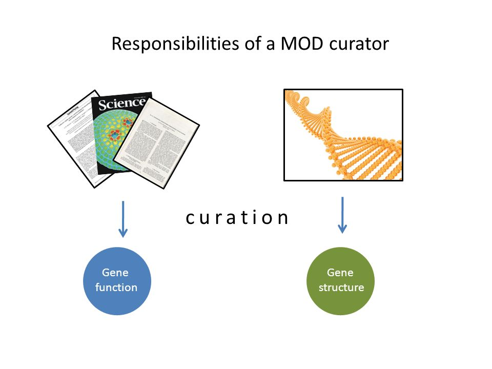 Responsibilities of a MOD curator Gene function Gene structure curation