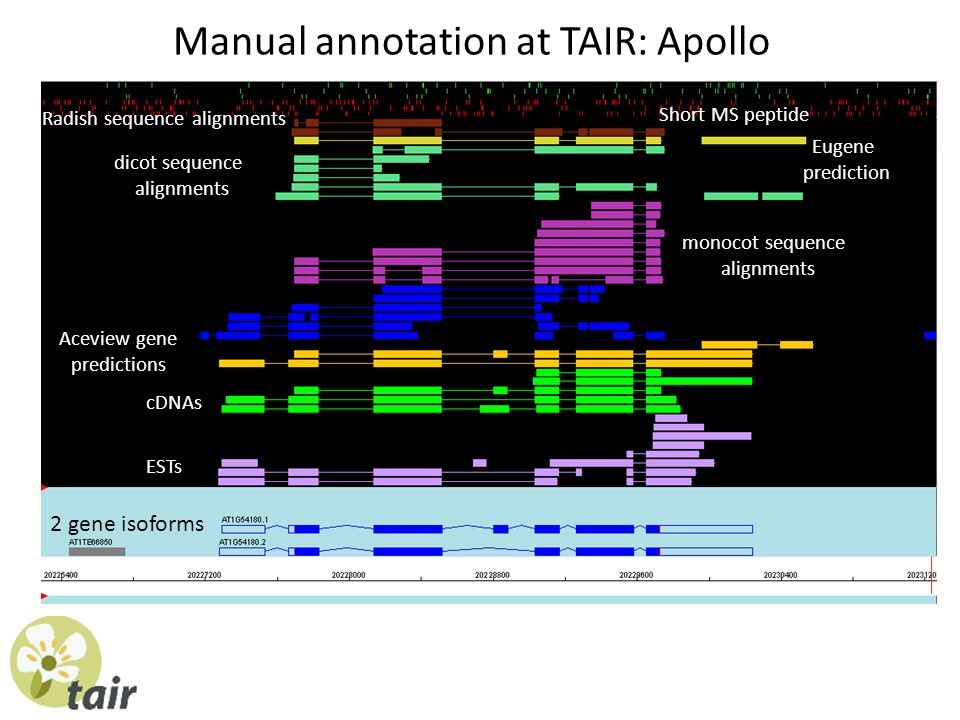 ESTs cDNAs Radish sequence alignments Eugene prediction dicot sequence alignments monocot sequence alignments Aceview gene predictions 2 gene isoforms Manual annotation at TAIR: Apollo Short MS peptide