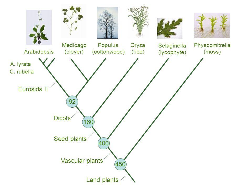 Populus (cottonwood) Oryza (rice) Medicago (clover) Arabidopsis Physcomitrella (moss) Land plants Vascular plants Seed plants Dicots Eurosids II 92 160 400 450 Selaginella (lycophyte) A.