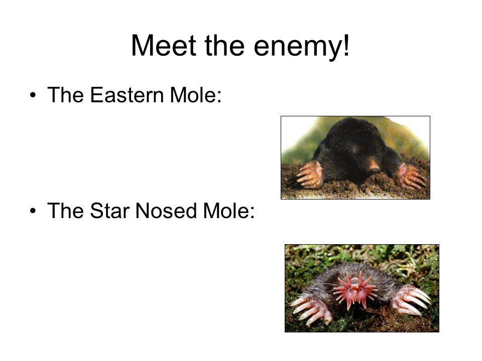 Meet the enemy! The Eastern Mole: The Star Nosed Mole: