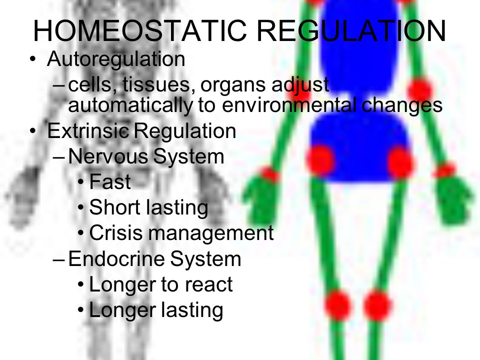 HOMEOSTATIC REGULATION Autoregulation –cells, tissues, organs adjust automatically to environmental changes Extrinsic Regulation –Nervous System Fast