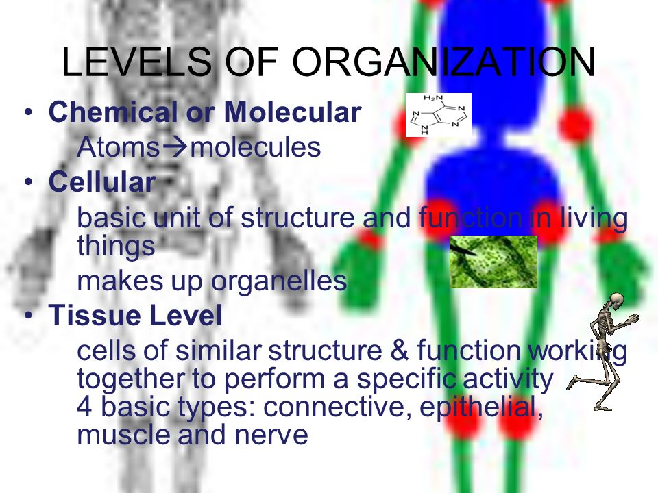 LEVELS OF ORGANIZATION Chemical or Molecular Atoms molecules Cellular basic unit of structure and function in living things makes up organelles Tissue