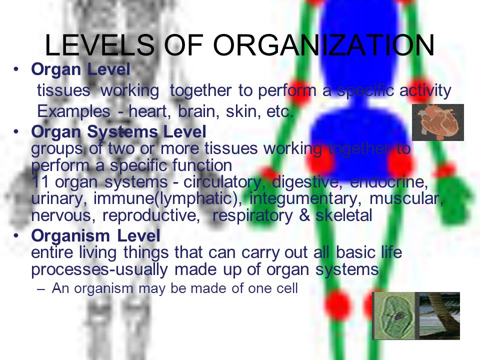LEVELS OF ORGANIZATION Organ Level tissues working together to perform a specific activity Examples - heart, brain, skin, etc. Organ Systems Level gro