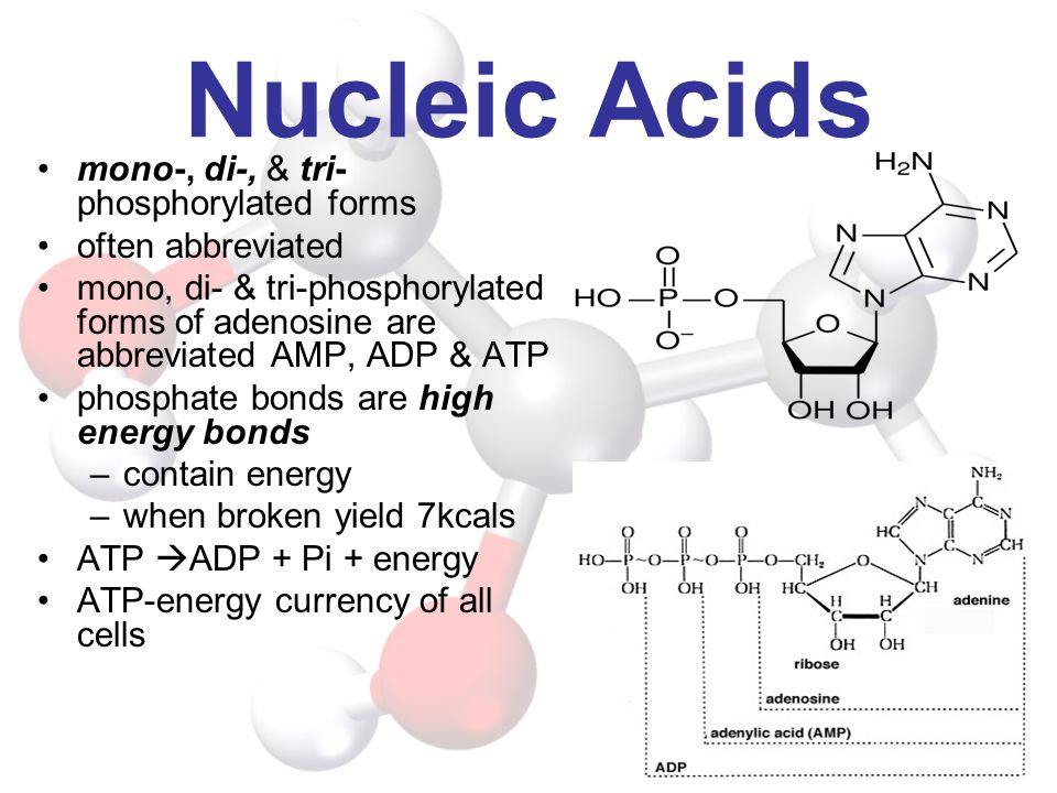 Nucleic Acids mono-, di-, & tri- phosphorylated forms often abbreviated mono, di- & tri-phosphorylated forms of adenosine are abbreviated AMP, ADP & A