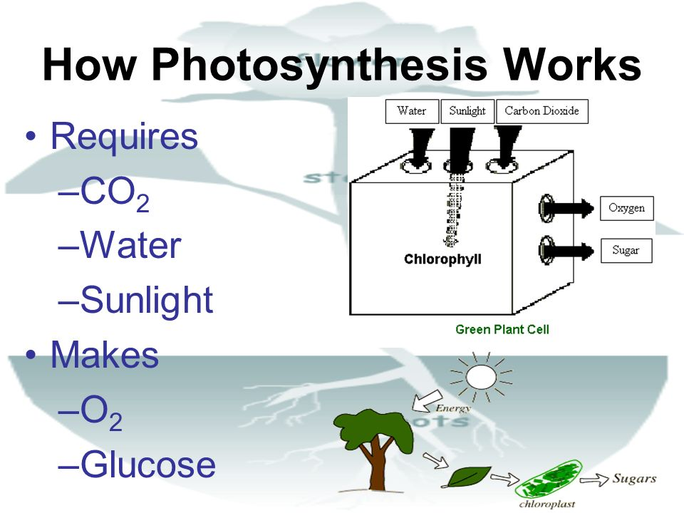 How Photosynthesis Works Requires –CO 2 –Water –Sunlight Makes –O2–O2 –Glucose