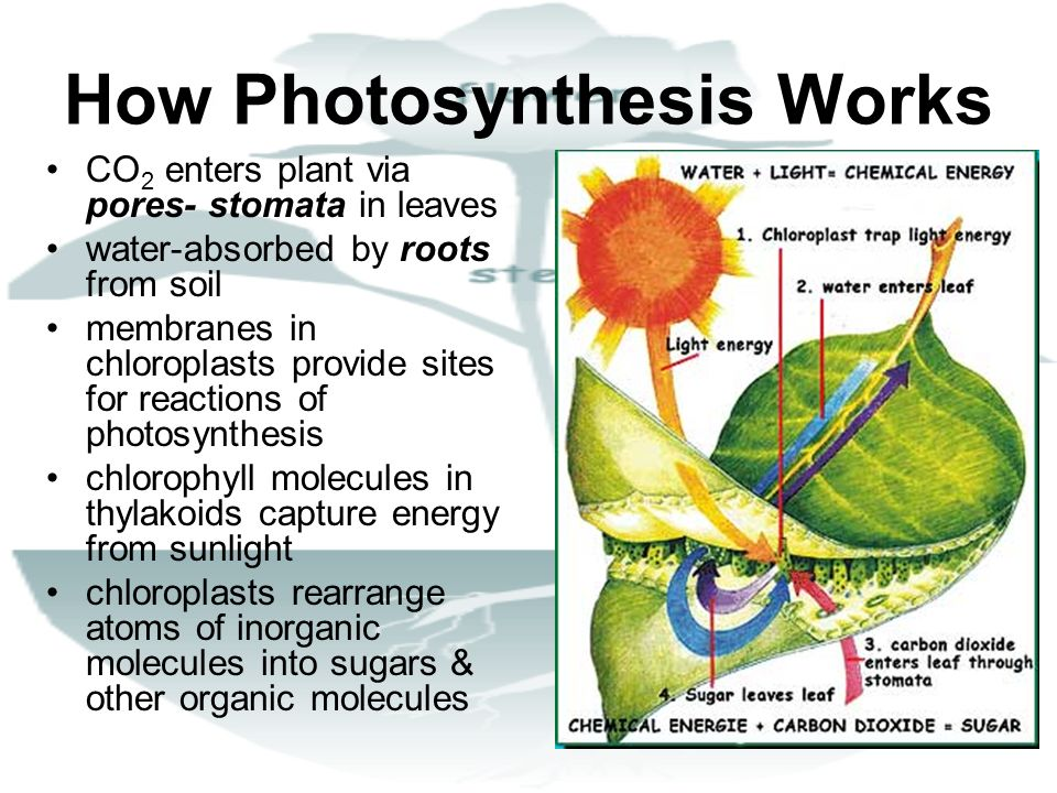 How Photosynthesis Works CO 2 enters plant via pores- stomata in leaves water-absorbed by roots from soil membranes in chloroplasts provide sites for