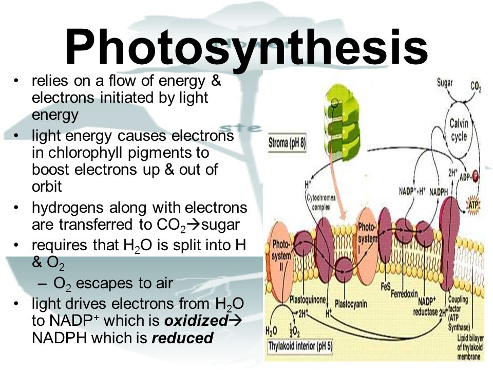 Photosynthesis relies on a flow of energy & electrons initiated by light energy light energy causes electrons in chlorophyll pigments to boost electro