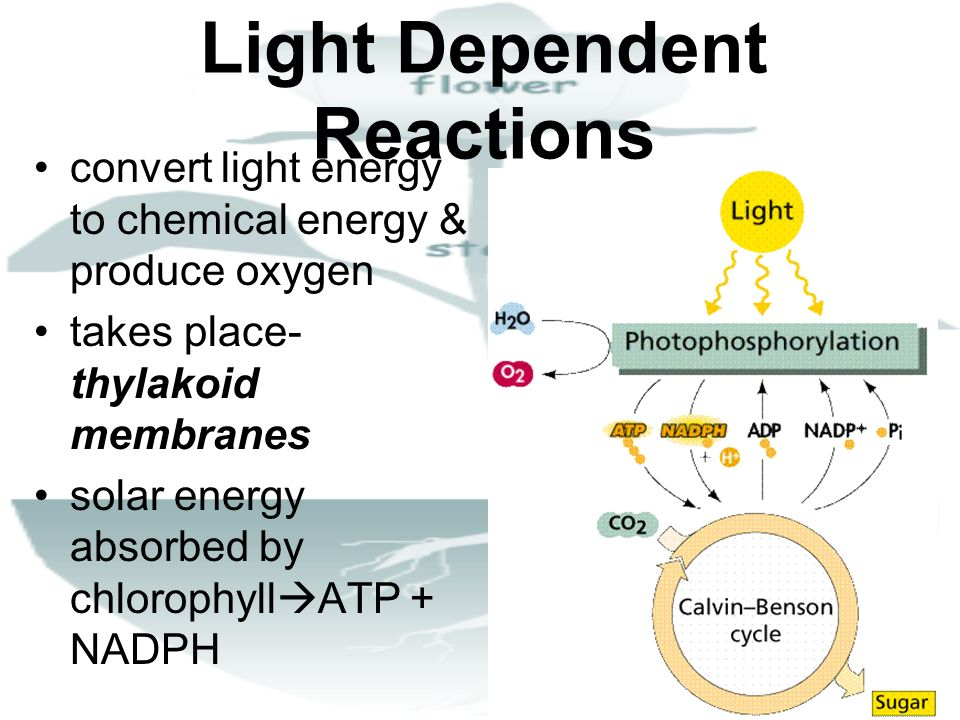 Light Dependent Reactions convert light energy to chemical energy & produce oxygen takes place- thylakoid membranes solar energy absorbed by chlorophy