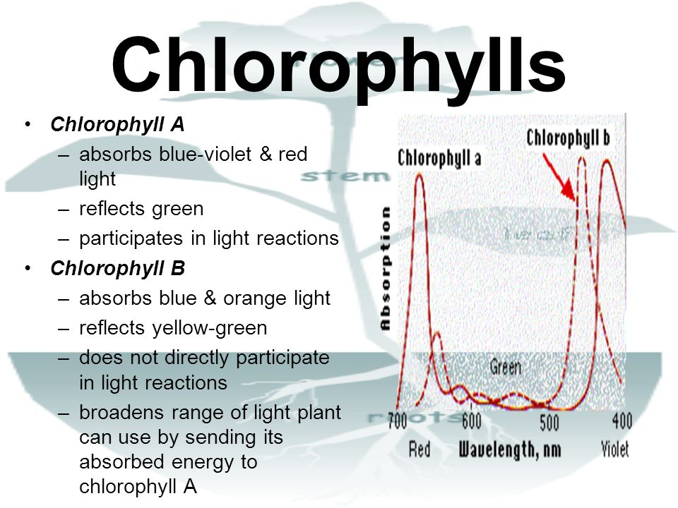 Chlorophylls Chlorophyll A –absorbs blue-violet & red light –reflects green –participates in light reactions Chlorophyll B –absorbs blue & orange ligh