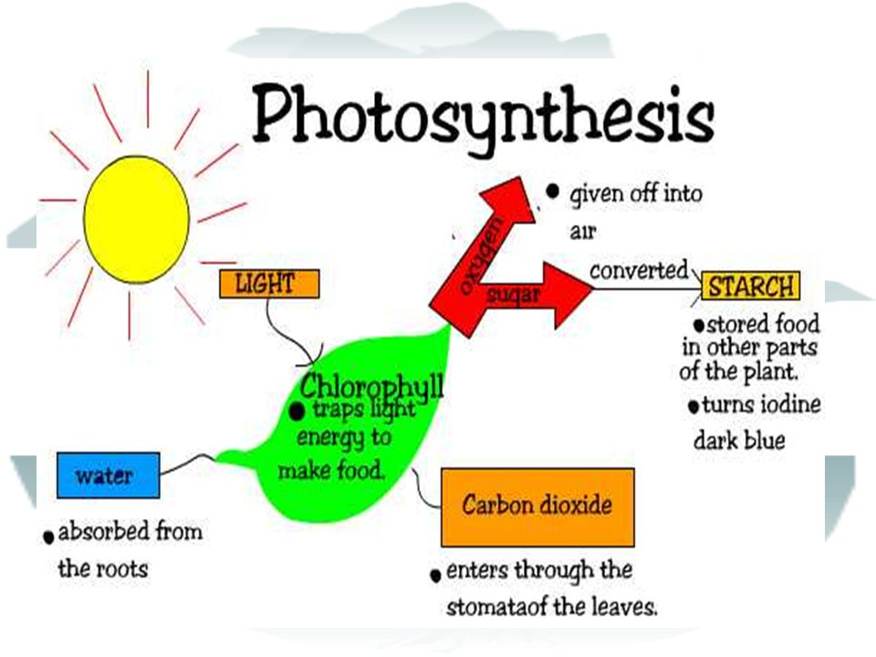 How Photosynthesis Works CO 2 enters plant via pores- stomata in leaves water-absorbed by roots from soil membranes in chloroplasts provide sites for reactions of photosynthesis chlorophyll molecules in thylakoids capture energy from sunlight chloroplasts rearrange atoms of inorganic molecules into sugars & other organic molecules