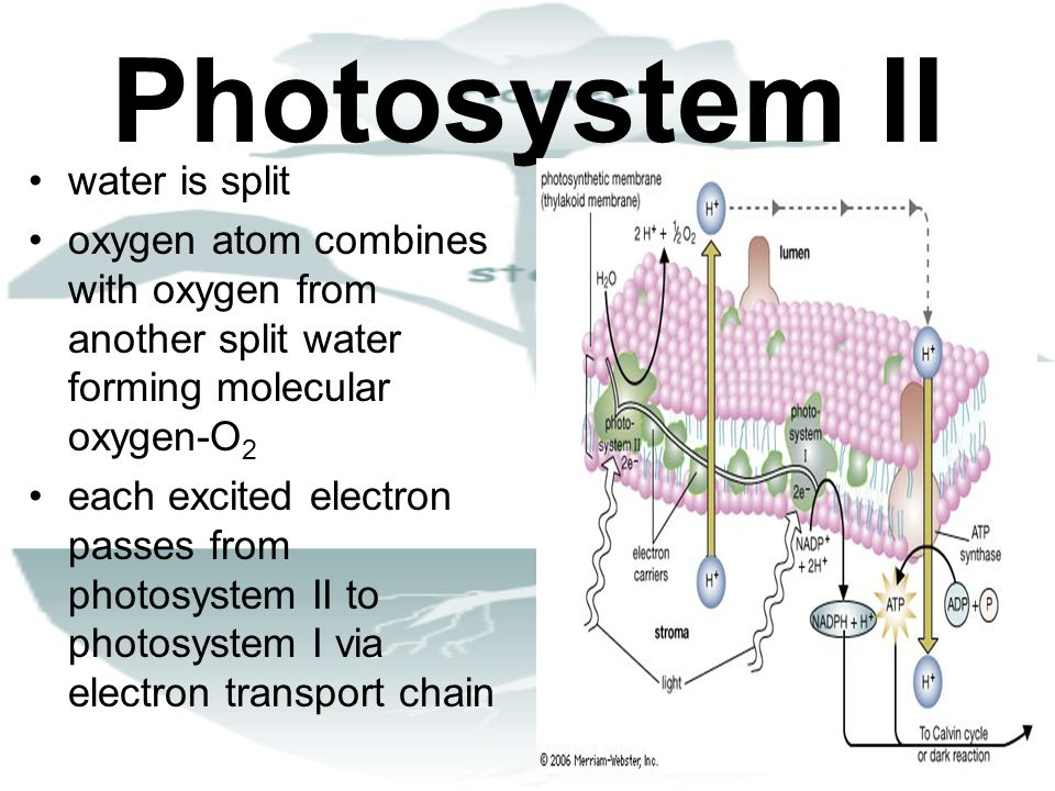 Photosystem II water is split oxygen atom combines with oxygen from another split water forming molecular oxygen-O 2 each excited electron passes from