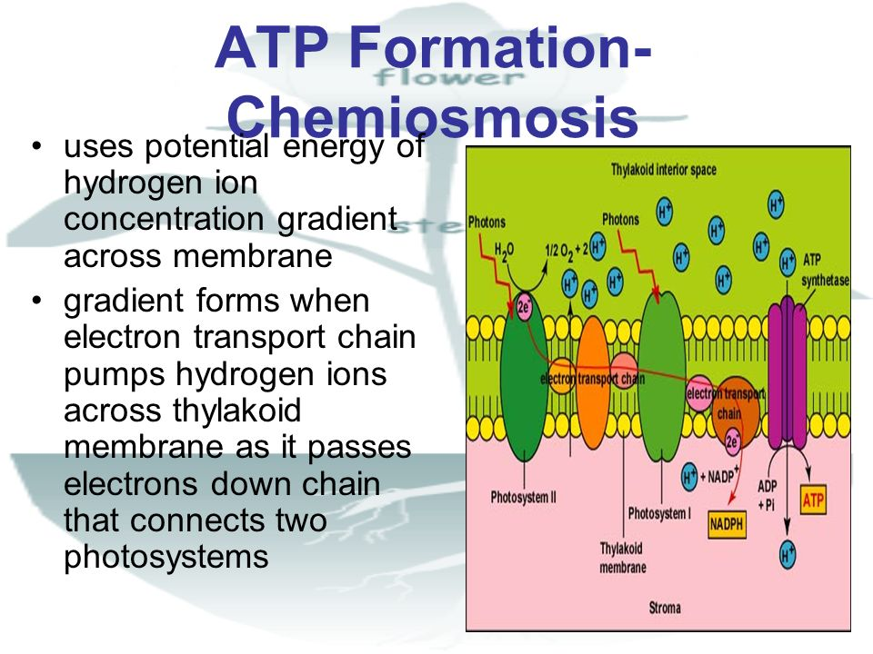 ATP Formation- Chemiosmosis uses potential energy of hydrogen ion concentration gradient across membrane gradient forms when electron transport chain