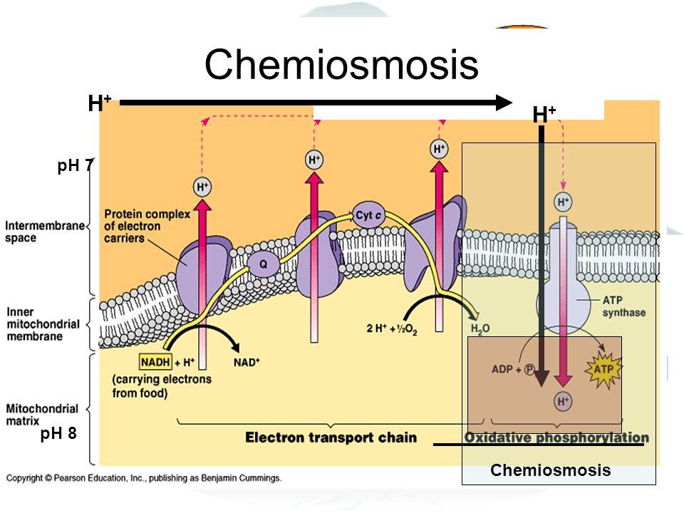 Chemiosmosis H+H+ H+H+ pH 7 pH 8