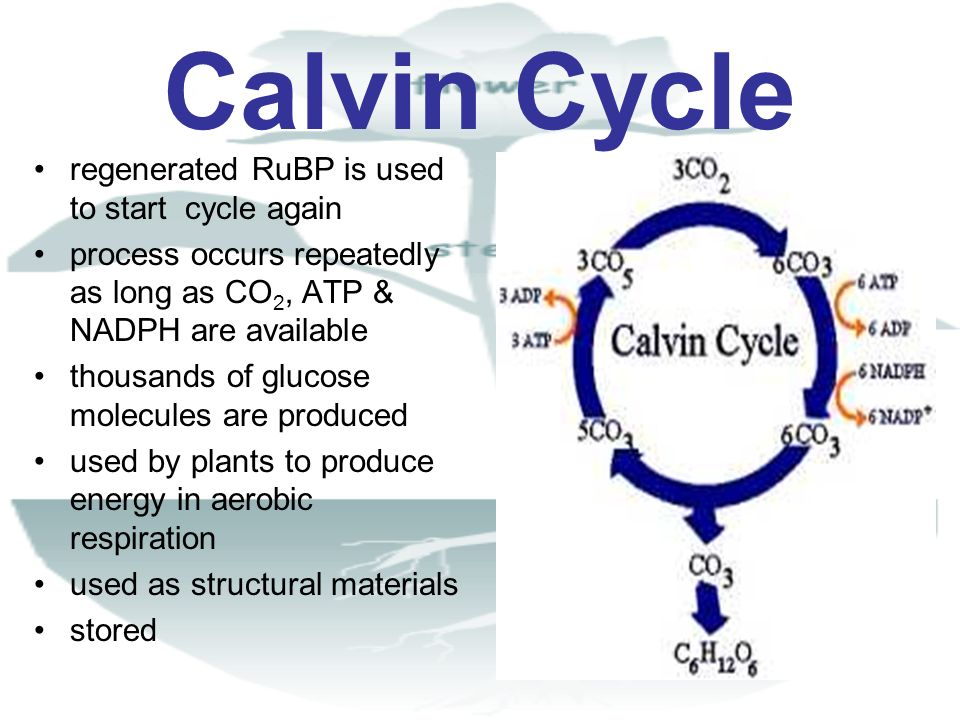 Calvin Cycle regenerated RuBP is used to start cycle again process occurs repeatedly as long as CO 2, ATP & NADPH are available thousands of glucose m