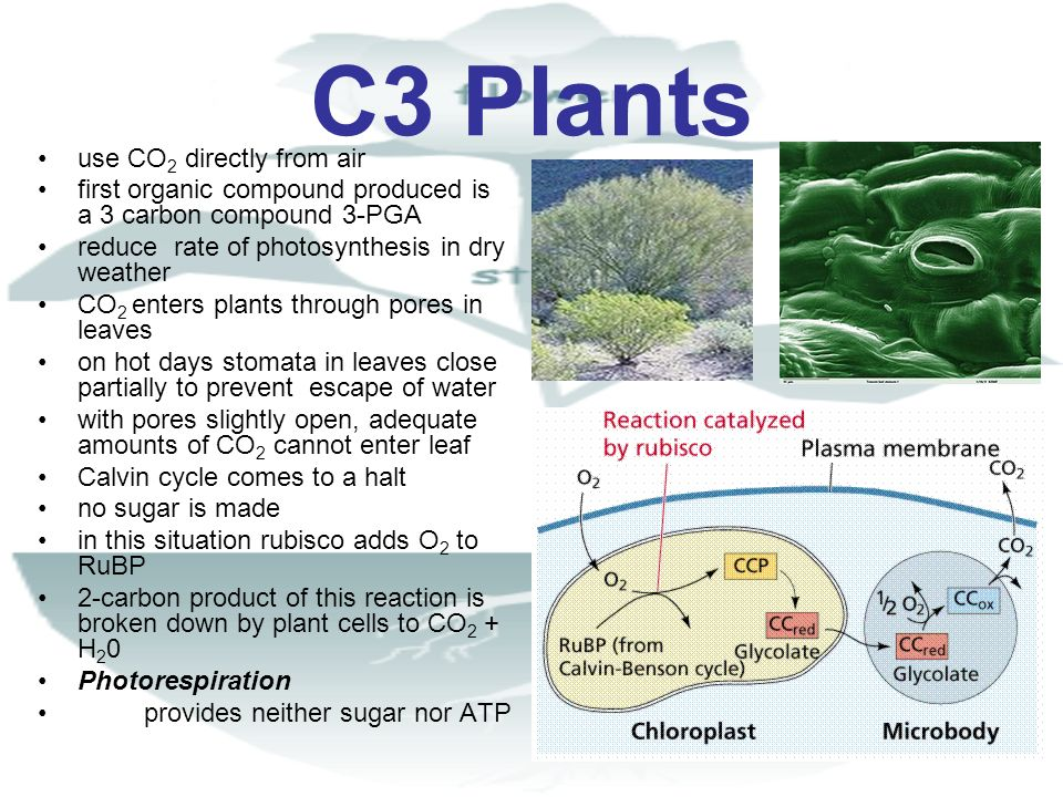 C3 Plants use CO 2 directly from air first organic compound produced is a 3 carbon compound 3-PGA reduce rate of photosynthesis in dry weather CO 2 en
