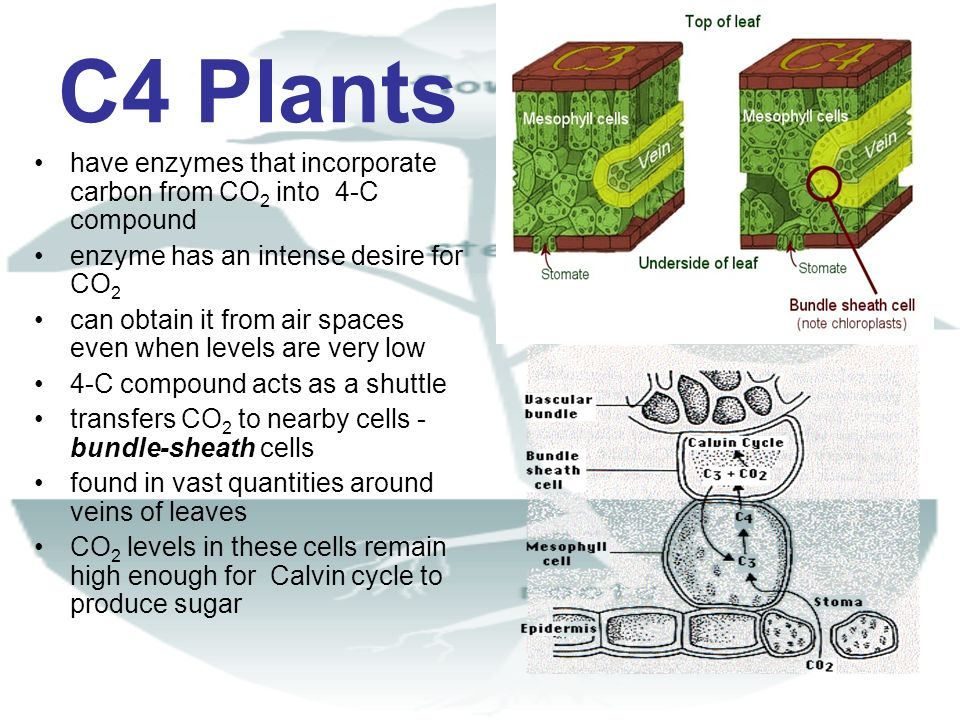 C4 Plants have enzymes that incorporate carbon from CO 2 into 4-C compound enzyme has an intense desire for CO 2 can obtain it from air spaces even wh
