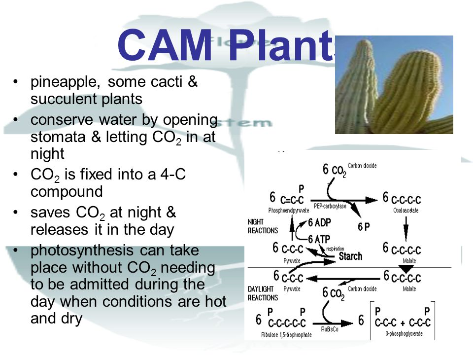CAM Plants pineapple, some cacti & succulent plants conserve water by opening stomata & letting CO 2 in at night CO 2 is fixed into a 4-C compound sav