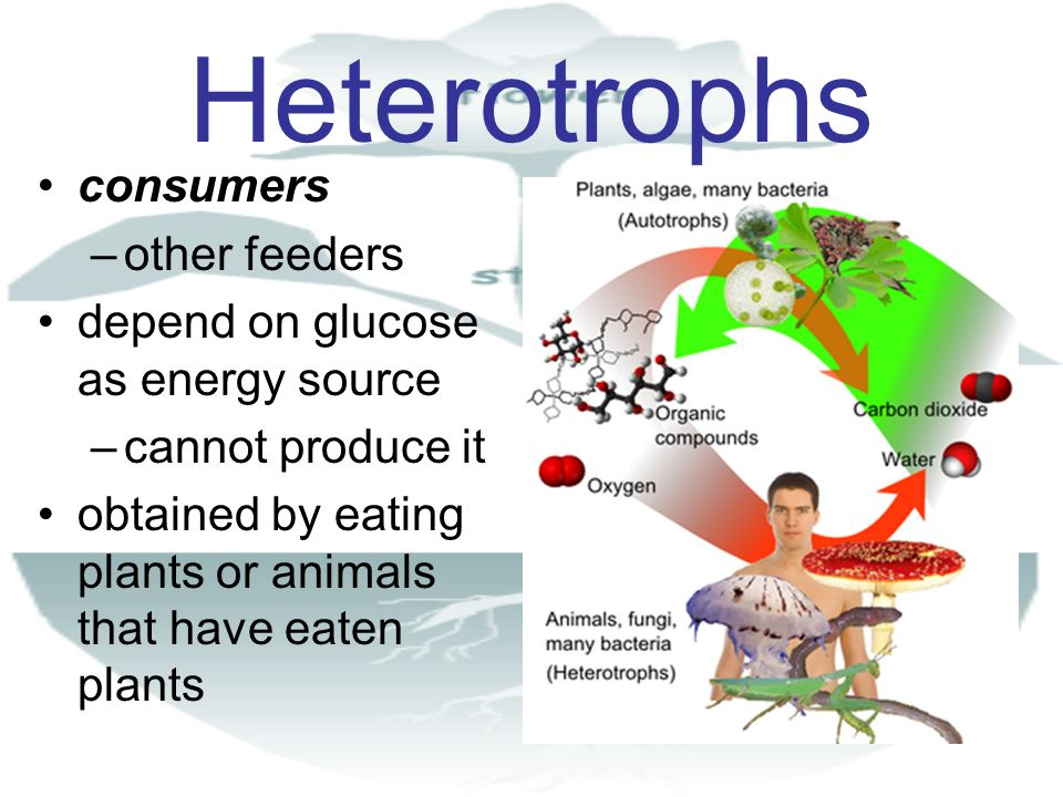 Carbon and Energy Flow CO 2 + H 2 O Carbs Proteins Lipids + O 2 Photosynthesis Cellular (Aerobic) Respiration ( ATP Produced )