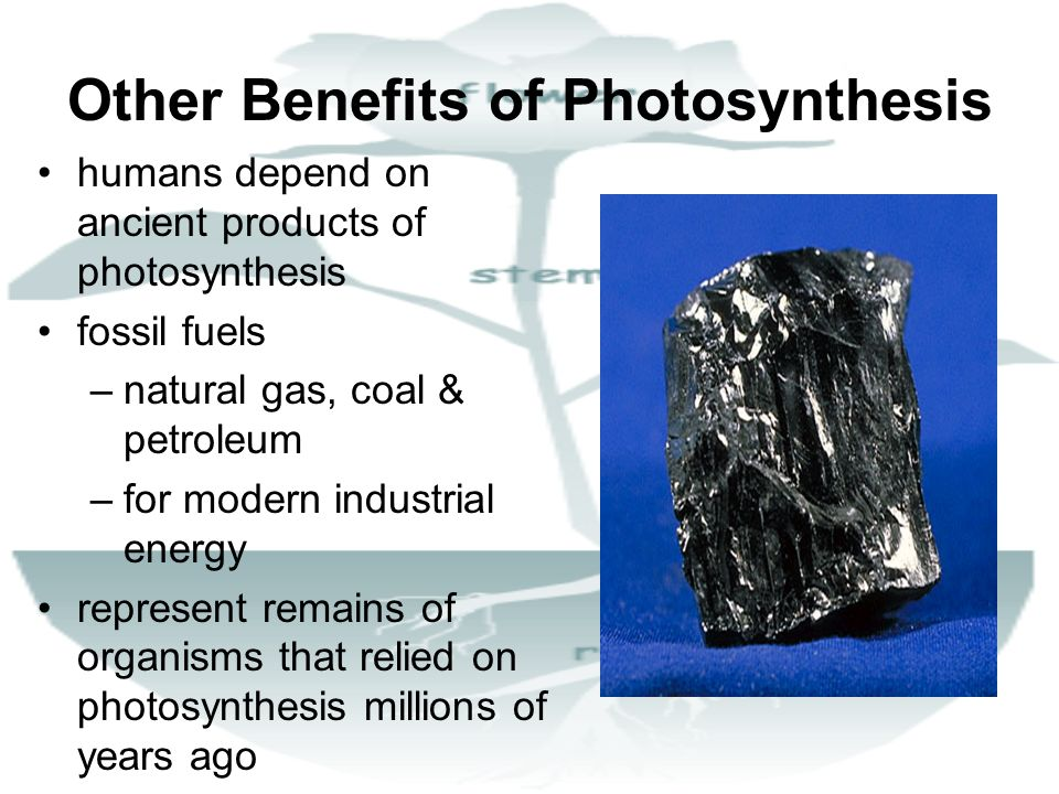 Other Benefits of Photosynthesis humans depend on ancient products of photosynthesis fossil fuels –natural gas, coal & petroleum –for modern industria