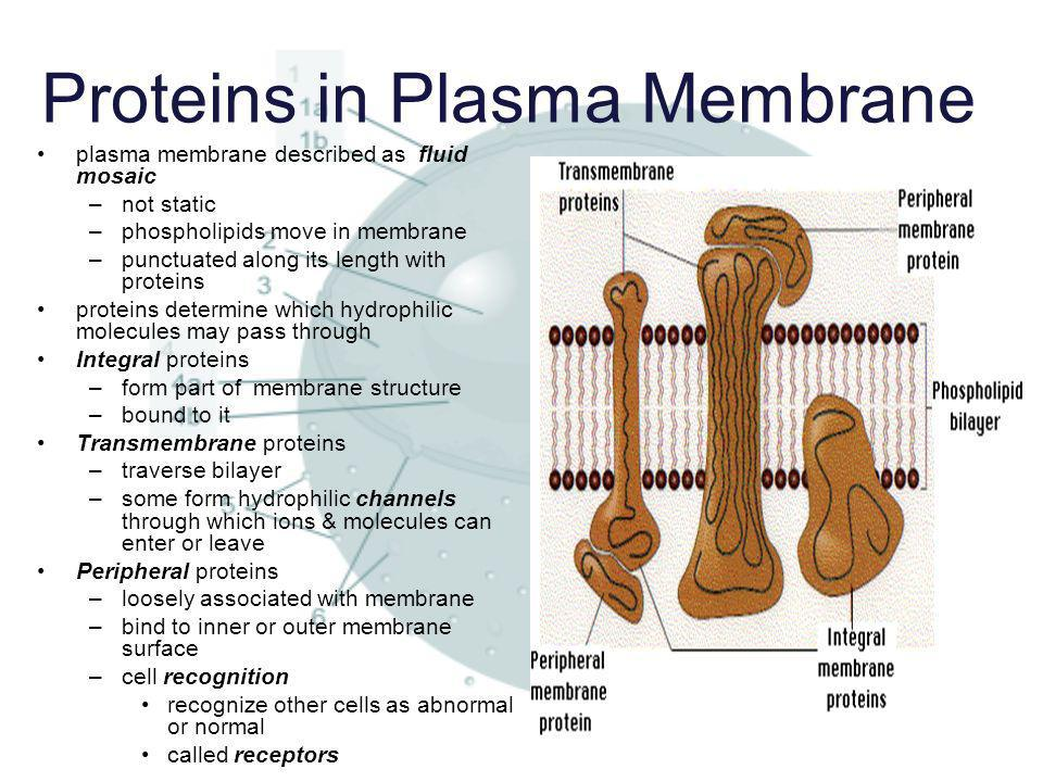 Proteins in Plasma Membrane plasma membrane described as fluid mosaic –not static –phospholipids move in membrane –punctuated along its length with pr