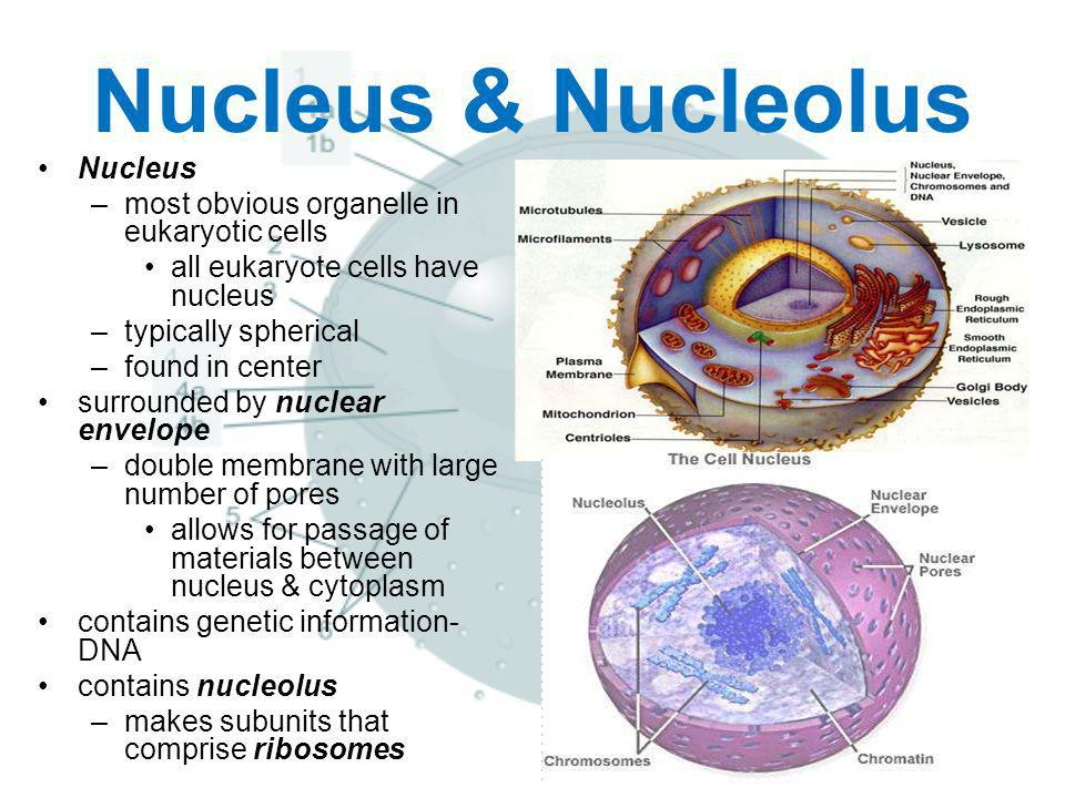 Nucleus & Nucleolus Nucleus –most obvious organelle in eukaryotic cells all eukaryote cells have nucleus –typically spherical –found in center surroun