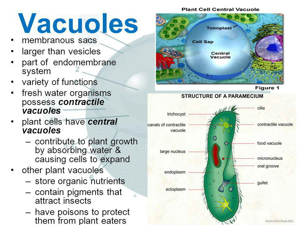 Vacuoles membranous sacs larger than vesicles part of endomembrane system variety of functions fresh water organisms possess contractile vacuoles plan