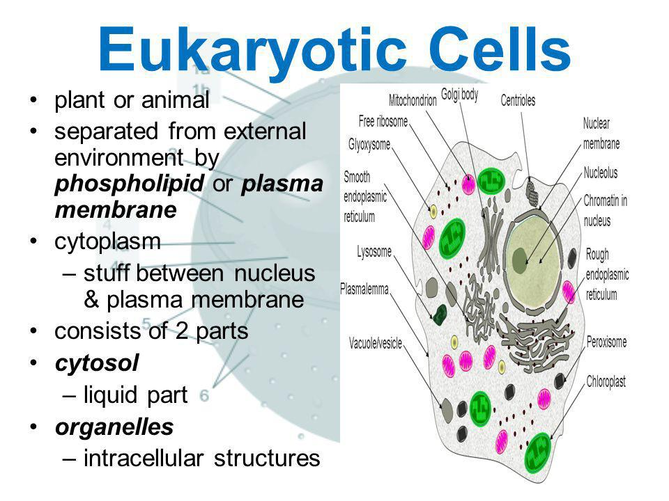 Eukaryotic Cells plant or animal separated from external environment by phospholipid or plasma membrane cytoplasm –stuff between nucleus & plasma memb