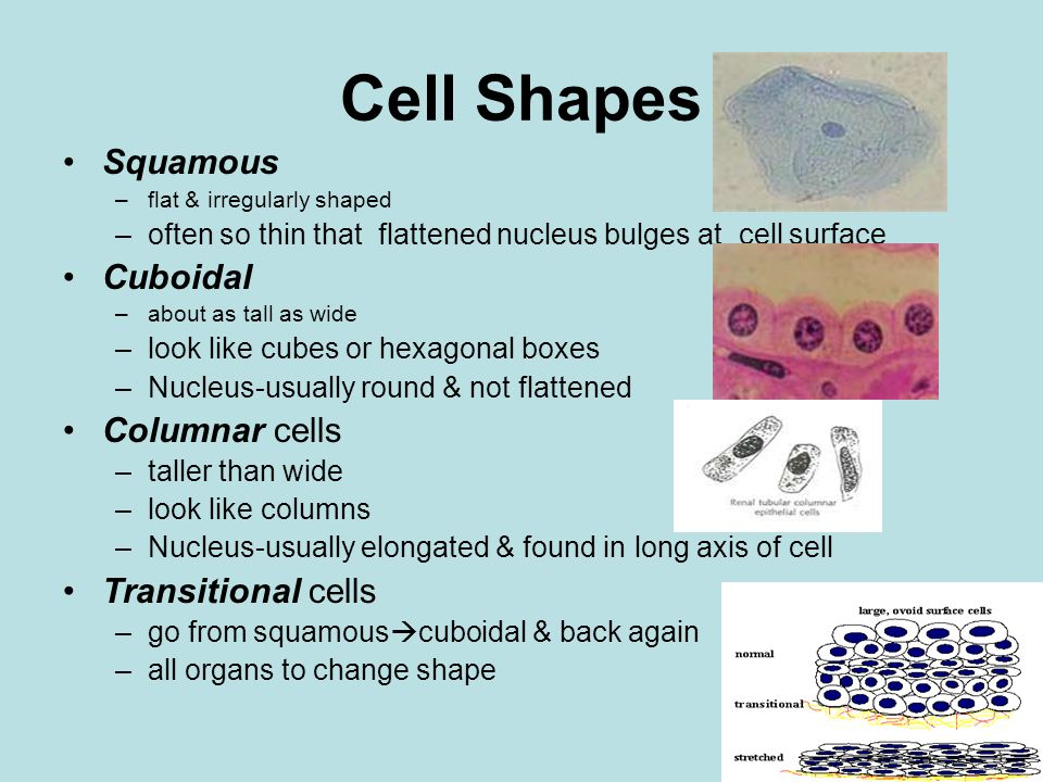 Cell Shapes Squamous –flat & irregularly shaped –often so thin that flattened nucleus bulges at cell surface Cuboidal –about as tall as wide –look lik