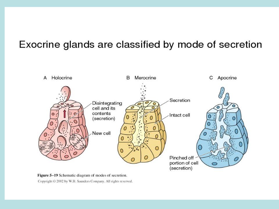 Merocrine Glands most common sweat & mucus secreting release products via exocytosis