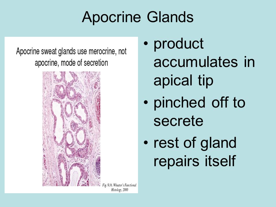 Apocrine Glands product accumulates in apical tip pinched off to secrete rest of gland repairs itself