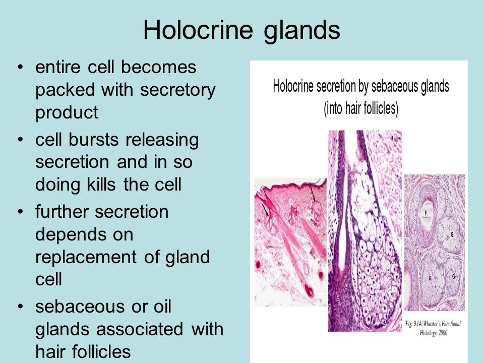 Holocrine glands entire cell becomes packed with secretory product cell bursts releasing secretion and in so doing kills the cell further secretion de