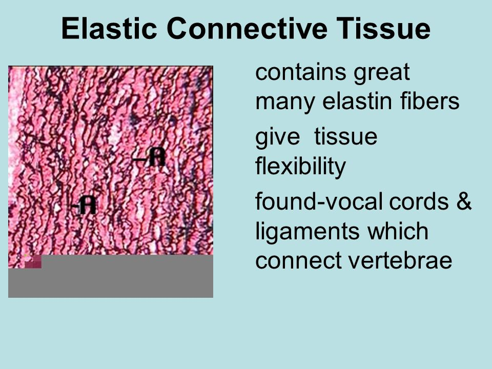 Elastic Connective Tissue contains great many elastin fibers give tissue flexibility found-vocal cords & ligaments which connect vertebrae