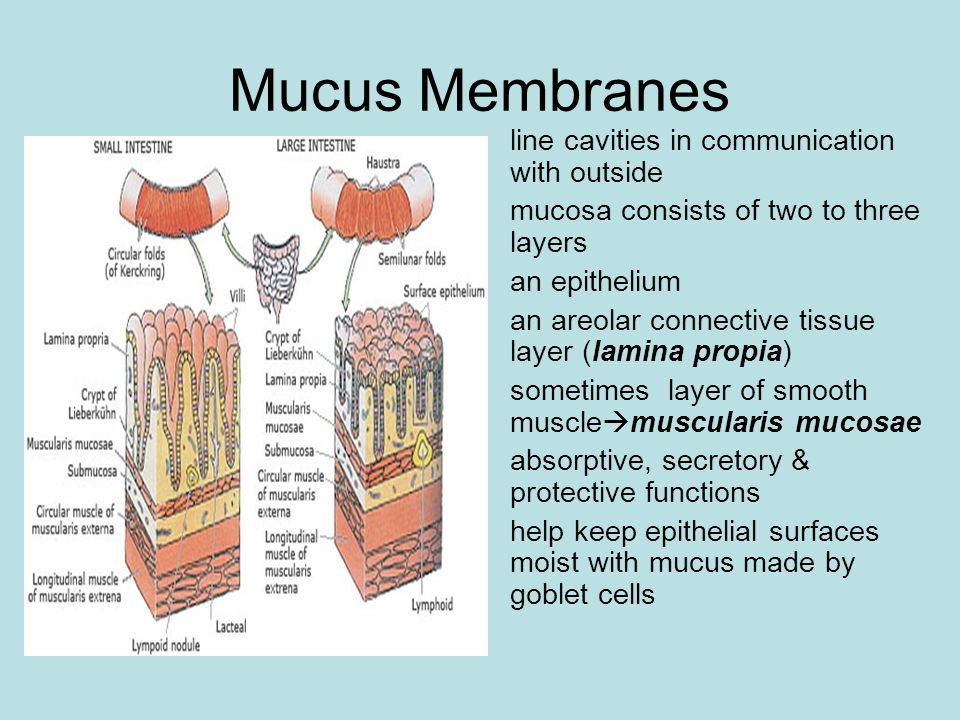 Mucus Membranes line cavities in communication with outside mucosa consists of two to three layers an epithelium an areolar connective tissue layer (l
