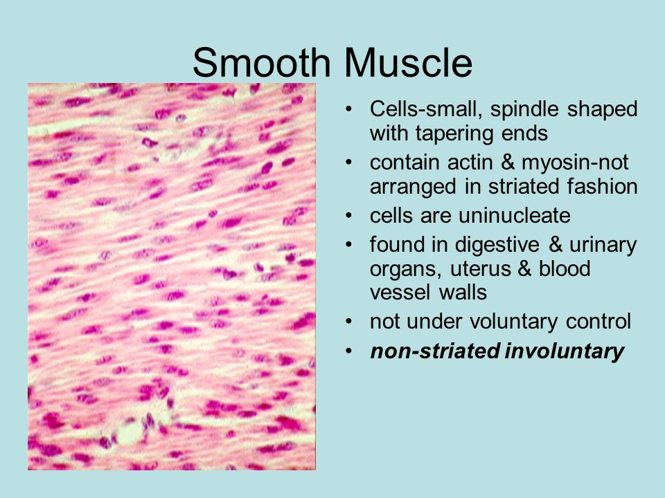 Smooth Muscle Cells-small, spindle shaped with tapering ends contain actin & myosin-not arranged in striated fashion cells are uninucleate found in di
