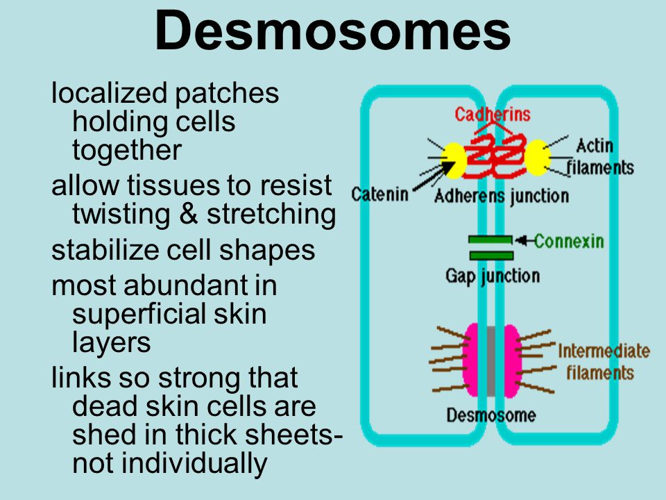 Desmosomes localized patches holding cells together allow tissues to resist twisting & stretching stabilize cell shapes most abundant in superficial s