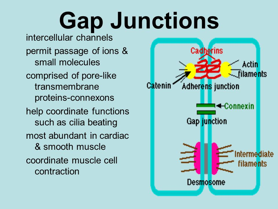 Gap Junctions intercellular channels permit passage of ions & small molecules comprised of pore-like transmembrane proteins-connexons help coordinate