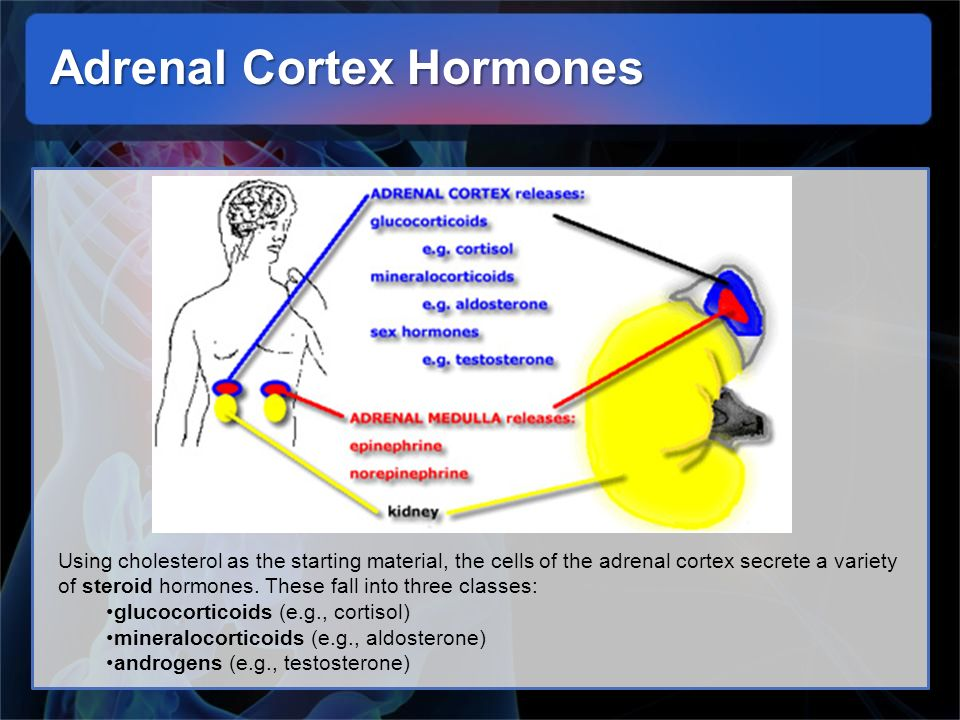Adrenal Cortex Hormones Using cholesterol as the starting material, the cells of the adrenal cortex secrete a variety of steroid hormones. These fall