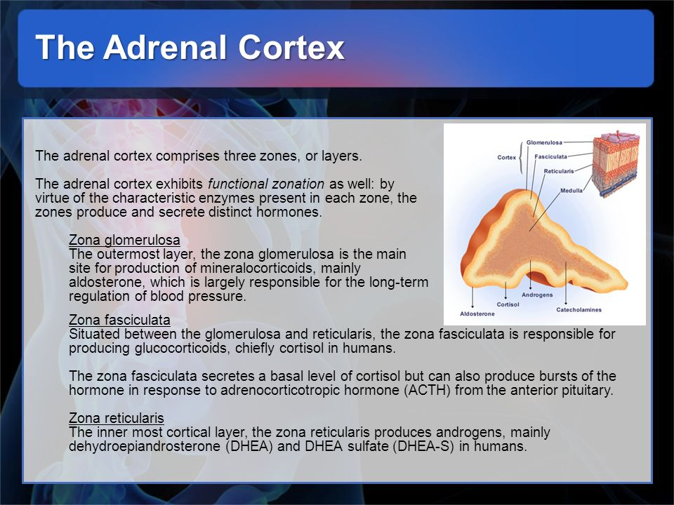 The Adrenal Cortex The adrenal cortex comprises three zones, or layers. The adrenal cortex exhibits functional zonation as well: by virtue of the char