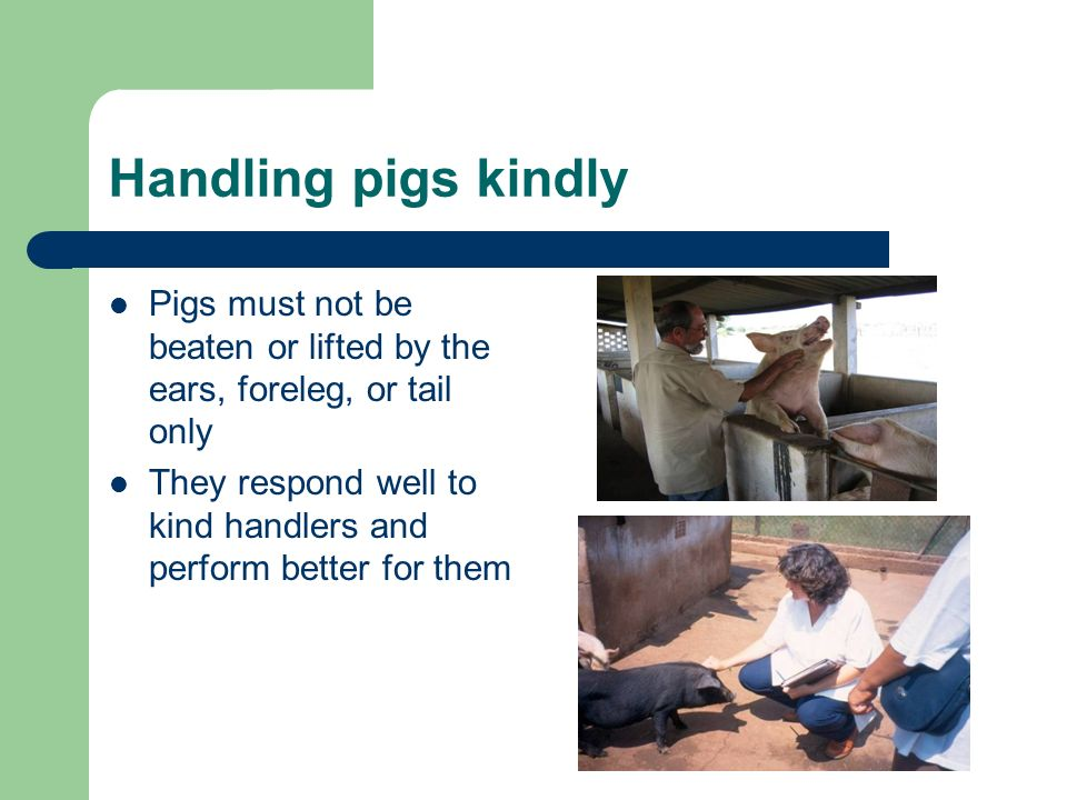 Handling pigs kindly Pigs must not be beaten or lifted by the ears, foreleg, or tail only They respond well to kind handlers and perform better for them