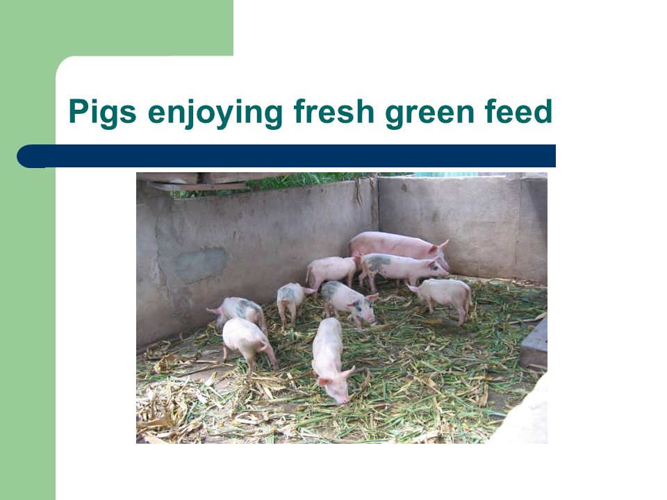 Pigs enjoying fresh green feed