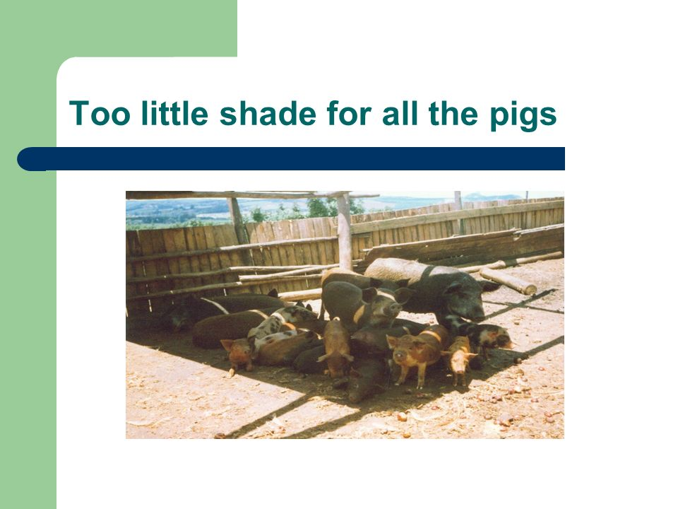 Too little shade for all the pigs