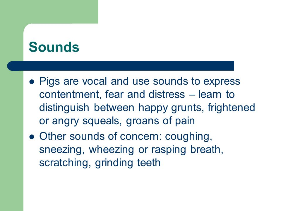Sounds Pigs are vocal and use sounds to express contentment, fear and distress – learn to distinguish between happy grunts, frightened or angry squeal