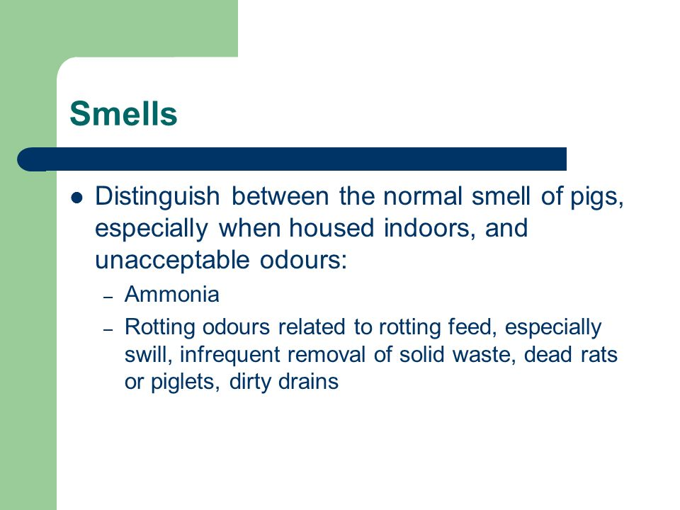 Smells Distinguish between the normal smell of pigs, especially when housed indoors, and unacceptable odours: – Ammonia – Rotting odours related to rotting feed, especially swill, infrequent removal of solid waste, dead rats or piglets, dirty drains