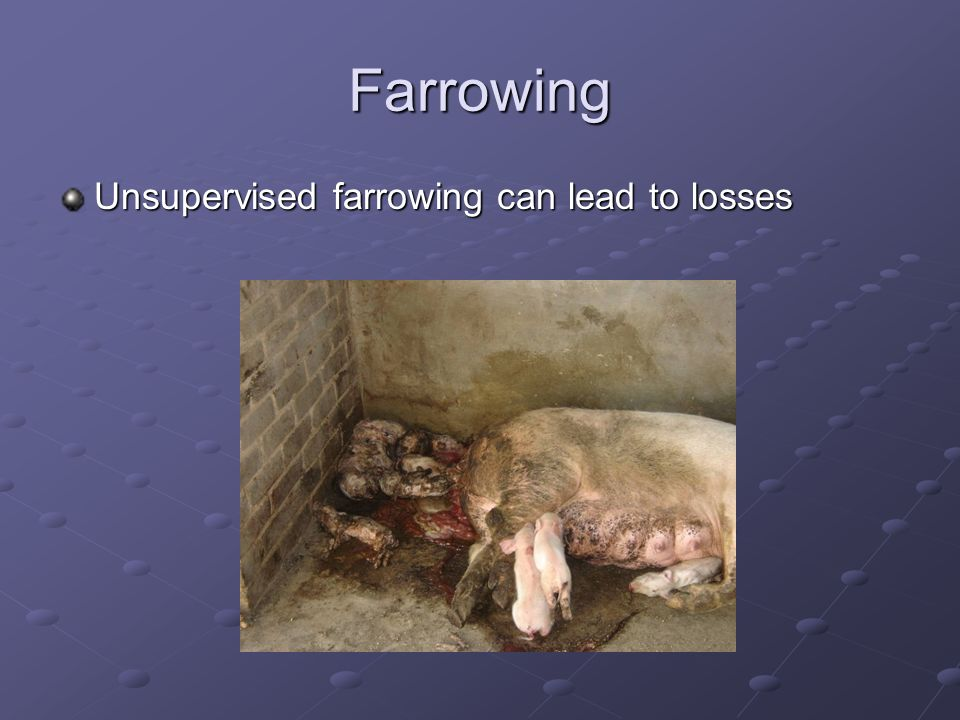 Farrowing Unsupervised farrowing can lead to losses