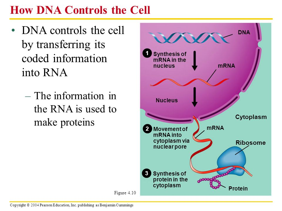 Copyright © 2004 Pearson Education, Inc. publishing as Benjamin Cummings DNA controls the cell by transferring its coded information into RNA How DNA