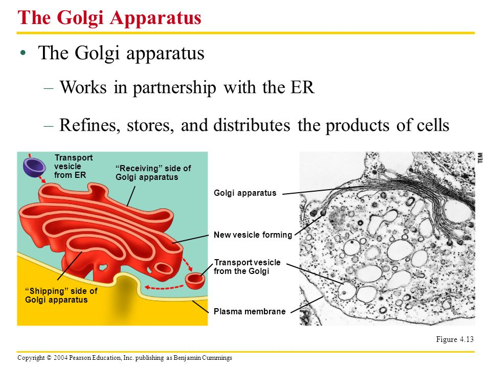 Copyright © 2004 Pearson Education, Inc. publishing as Benjamin Cummings The Golgi apparatus The Golgi Apparatus –Works in partnership with the ER –Re