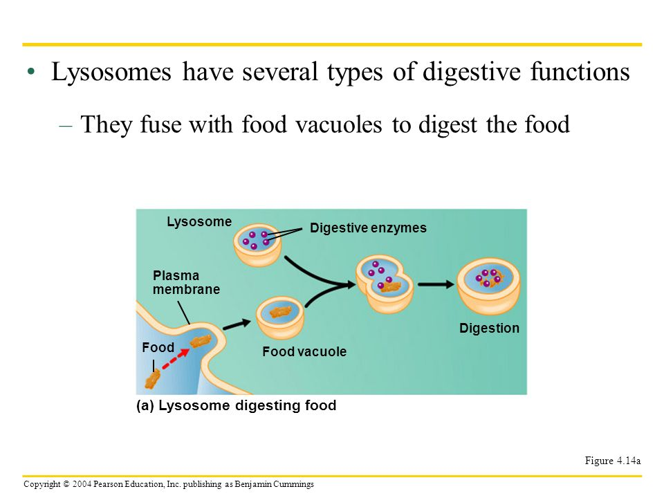 Copyright © 2004 Pearson Education, Inc. publishing as Benjamin Cummings Lysosomes have several types of digestive functions –They fuse with food vacu