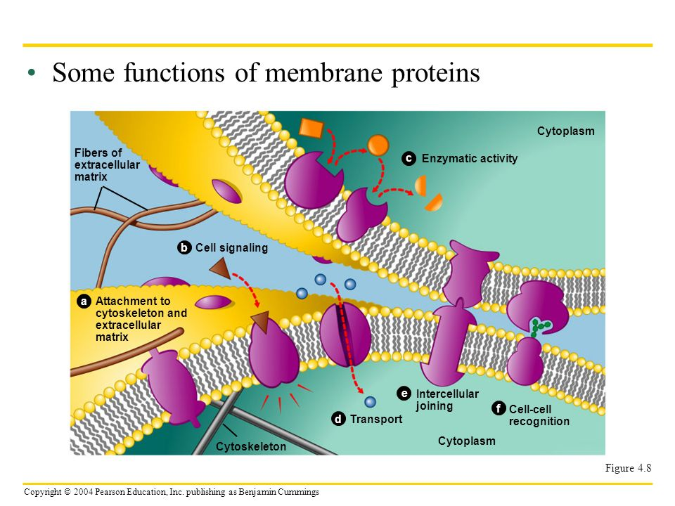 Copyright © 2004 Pearson Education, Inc. publishing as Benjamin Cummings Some functions of membrane proteins Figure 4.8 Fibers of extracellular matrix