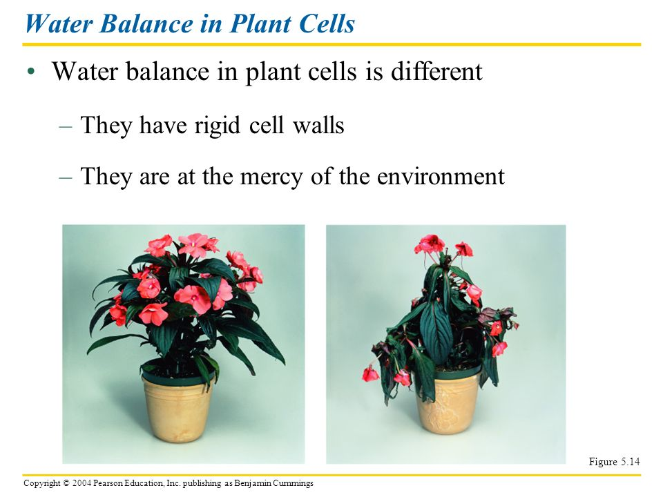 Copyright © 2004 Pearson Education, Inc. publishing as Benjamin Cummings Water balance in plant cells is different Water Balance in Plant Cells Figure